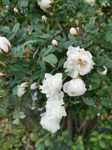 Valkoisia ruusuja